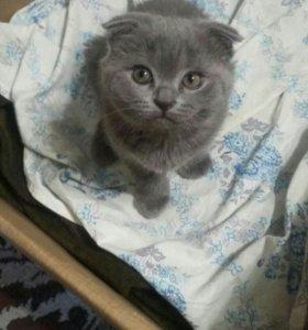 Продам британского очаровательного котенка