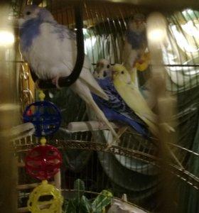 Птенцы волнистые попугайчики