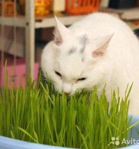 Собранный Cat трава 1oz около 200 семян