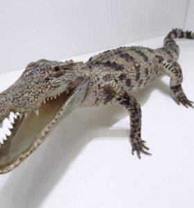 Чучело крокодила и морского ската
