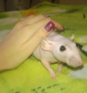 Лысая крыса
