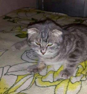 Вислоухоя кошка