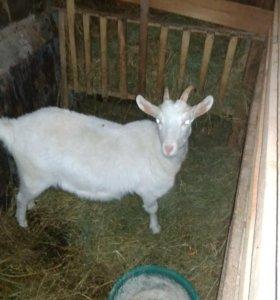 Продаем коз