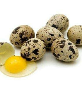 Яйцо перепелки домашнее