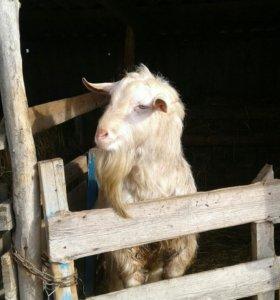 Продается козел