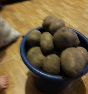 картошка ведрами