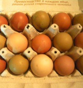 Домашнее куриное яйцо и индоутки