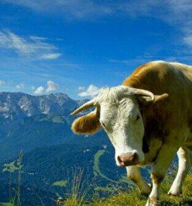 Продается мясо телятина