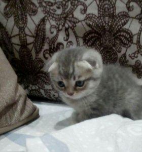 Котята породы Шотландская кошка