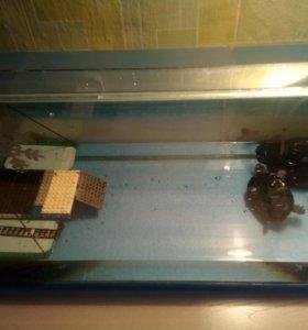 Красноухие черепахм