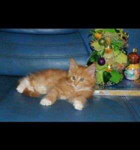 Котята мейн-кун из питомника Неанилла