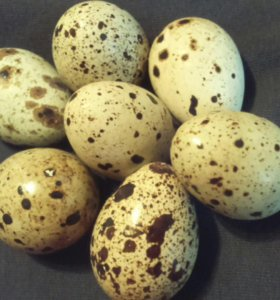 Яйцо перепелинное