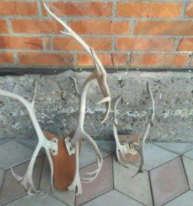Оленьи рога