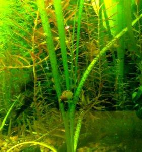 Валлиснерия тигровая Vallisneria nana «Tiger»
