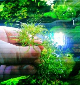 Наяс Рорайма, аквариумное растение