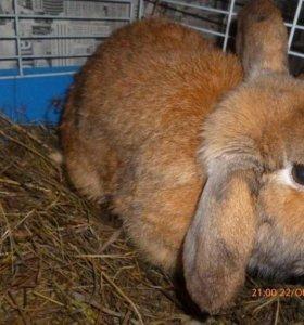 Декоративный кролик Гоша