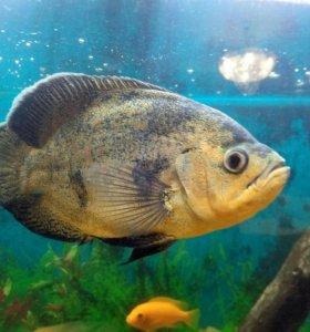 Цихлиды рыбки хищники