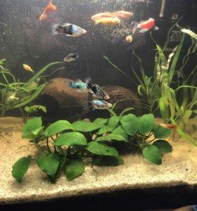 Анубиас аквариумный