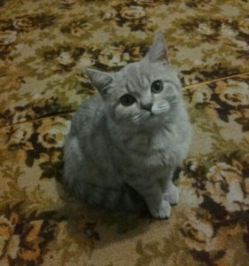 Продам британскую кошку(девочка)