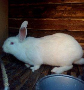 Самка кролика белый великан