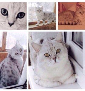 Красавец-британец-вискас (красивые котята!)