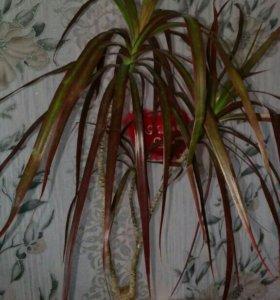 Драцена с красными листьями