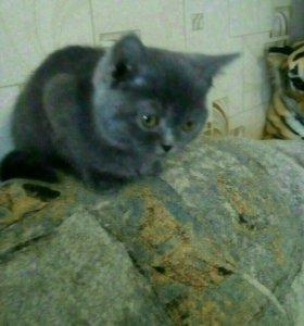 Котик британской прямоухой