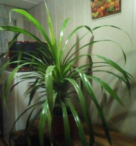 Панданус пальма