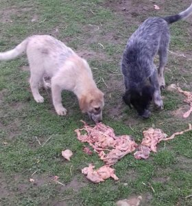 Кавказики 2,5 мес