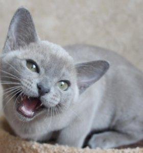 Европейская бурма котик голубого окраса