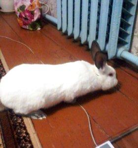 Кролик на племя