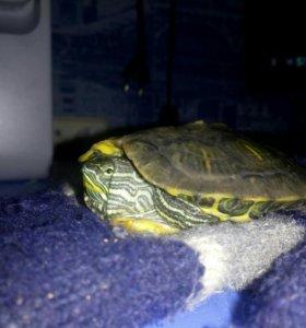 Беременная красноухая черепаха