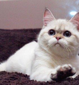 Шикарный котик страйт редкого окраса синеглазый