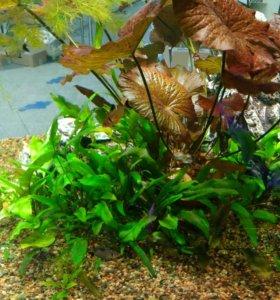 Криптокарина аквариумные растения