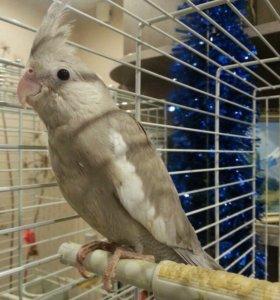 Птенец белоголовой кореллы