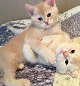 Шотландские котята. Мальчики.