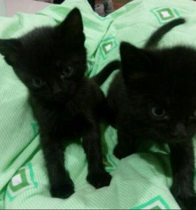 котята 1кошечка 2 котика в хорошие руки
