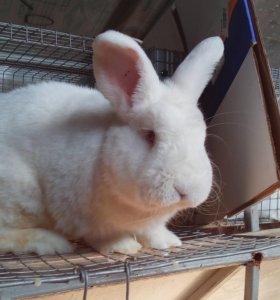 Чистопородные кролики НЗБ