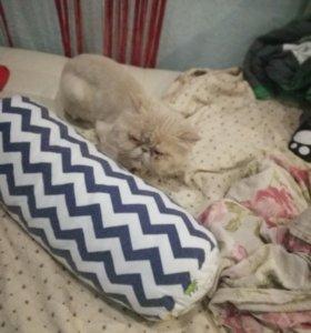 Персидский кот, с документами