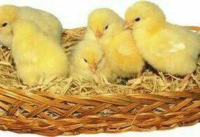 Запись на цыплят