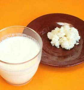 Молочный тибетский гриб