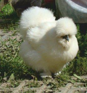 Шелковые белые (куры цыплята)