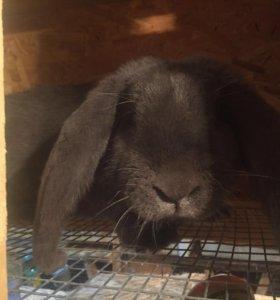 Кролики строкач, калифорния, нзк, бараны и помесь