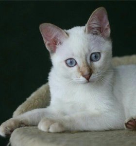 Очаровашки  тайские котята.