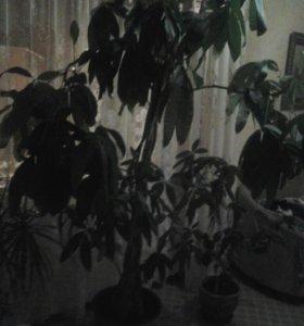 Комнатное дерево