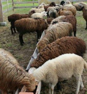 Аделбаевские овцы