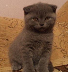 Шатландские котята