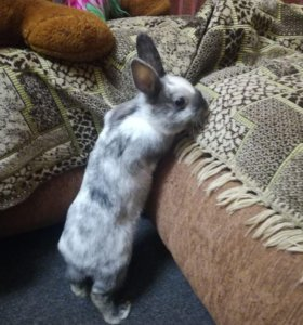 Декоротивные кролики