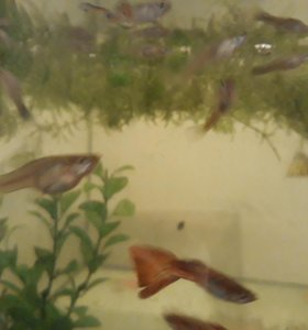 Рыбки Гупики