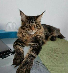 Вязка с котом мейн-кун